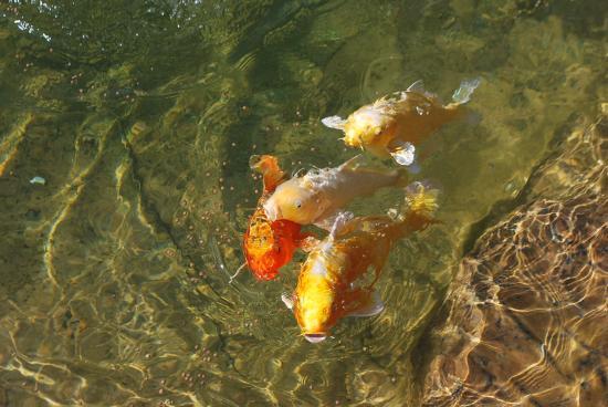 Bassin à Koïs, Rénovation, entretien et gestion de filtration