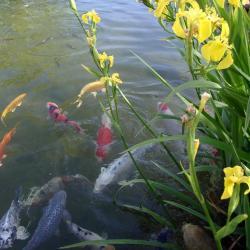 Bassin d'agrement pour carpes japonaises